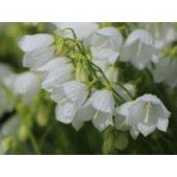 Niedliche Glockenblume 'White Baby', Campanula cochleariifolia 'White Baby', Topfware
