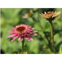 Niedriger Scheinsonnenhut 'Butterfly Kisses' ®, Echinacea purpurea 'Butterfly Kisses' ®, Topfware