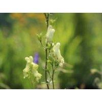 Gehölzrand - Nördlicher Eisenhut 'Ivorine', Aconitum lycoctonum subsp. vulparia 'Ivorine', Topfware