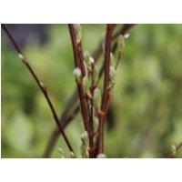 Ohrweide / Salbeiweide, 60-100 cm, Salix aurita, Containerware