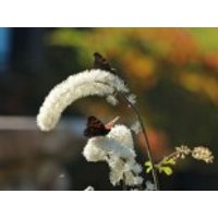 Oktober Silberkerze, Cimicifuga simplex 'Armleuchter', Topfware