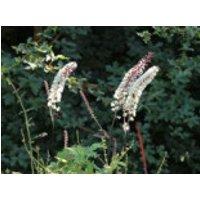 Oktober-Silberkerze 'White Pearl', Cimicifuga simplex 'White Pearl', Topfware