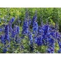 Pacific-Rittersporn 'Blue Bird', Delphinium x cultorum Pacific 'Blue Bird', Topfware