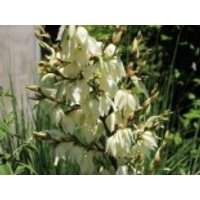 Palmlilie 'Bright Edge', Yucca filamentosa 'Bright Edge', Containerware