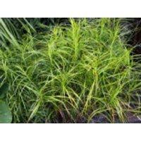 Palmwedel Segge, Carex muskingumensis, Containerware