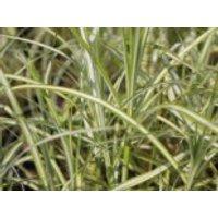 Palmwedel Segge 'Silberstreif', Carex muskingumensis 'Silberstreif', Containerware