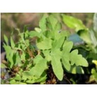 Perlfarn, Onoclea sensibilis, Topfware