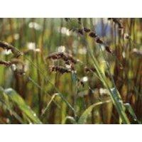 Perlgras 'Atropurpurea', Melica altissima 'Atropurpurea', Topfware