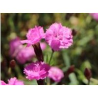 Pfingst-Nelke 'Pink Jewel', Dianthus gratianopolitanus 'Pink Jewel', Topfware
