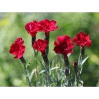 Pfingst-Nelke 'Rubin', Dianthus gratianopolitanus 'Rubin', Topfware