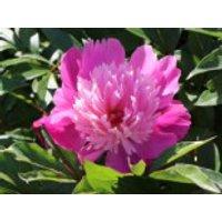 Pfingstrose 'Edulis Superba', Paeonia lactiflora 'Edulis Superba', Topfware