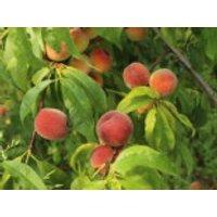 Pfirsich 'Amsden', Stamm 40-60 cm, 120-160 cm, Prunus persica 'Amsden', Containerware
