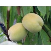 Pfirsich 'Ice Peach' ®, Stamm 40-60 cm, Prunus persica 'Ice Peach' ®, Containerware