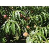 Pfirsich 'Kernechter vom Vorgebirge', Stamm 40-60 cm, 120-160 cm, Prunus persica 'Kernechter vom Vorgebirge', Containerware