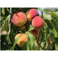 Pfirsich 'Red Haven', Stamm 40-60 cm, 120-160 cm, Prunus persica 'Red Haven', Containerware