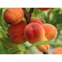 Pfirsich 'Roter Ellerstädter, Stamm 40-60 cm, 120-160 cm, Prunus persica 'Roter Ellerstädter', Containerware