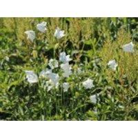 Pfirsichblättrige Glockenblume 'Grandiflora Alba', Campanula persicifolia 'Grandiflora Alba', Containerware