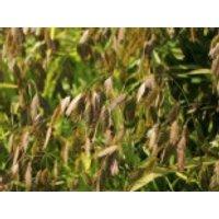 Plattährengras, Chasmanthium latifolium, Containerware