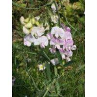 Platterbse 'Rosa Perle', Lathyrus latifolius 'Rosa Perle', Topfware