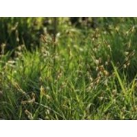 Polsterartige Segge 'The Beatles', Carex caryophyllea 'The Beatles', Topfware