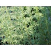 Pontischer Beifuß / Römischer Wermut, Artemisia pontica, Topfware