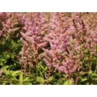 Prachtspiere 'Finale', Astilbe chinensis 'Finale', Topfware