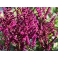Prachtspiere 'Vision in Red' ®, Astilbe chinensis 'Vision in Red'  ®, Containerware