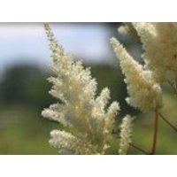 Gehölzrand - Prachtspiere 'Vision in White' ®, Astilbe chinensis 'Vision in White' ®, Containerware
