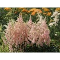 Gehölzrand - Prachtspiere 'Younique Salmon' ®, Astilbe japonica 'Younique Salmon' ®, Containerware