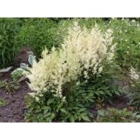 Gehölzrand - Prachtspiere 'Younique White' ®, Astilbe japonica 'Younique White' ®, Containerware