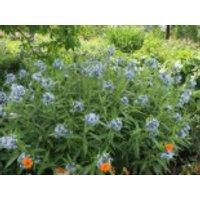 Prachtvoller Röhrenstern, Amsonia illustris, Topfware