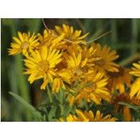 Prächtiges Goldauge 'Sunshine', Chrysopsis spiciosa 'Sunshine', Topfware