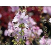 Präriemalve 'Elsie Heugh', Sidalcea malviflora 'Elsie Heugh', Containerware
