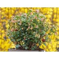 Preiselbeere 'Fireballs' / 'Lirome', 25-30 cm, Vaccinium vitis-idaea 'Fireballs' / 'Lirome', Containerware