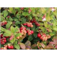 Preiselbeere Miss Cherry ® 'Meliro', 25-30 cm, Vaccinium vitis-idaea Miss Cherry ® 'Meliro', Containerware