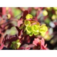 Rotblättrige Wolfsmilch 'Purpurea', Euphorbia amygdaloides 'Purpurea', Containerware