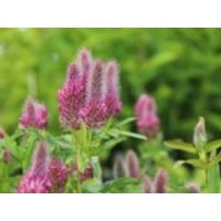 Purpurblühender Klee 'Red Feather', Trifolium rubens 'Red Feather', Topfware