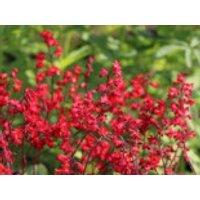 Purpurglöckchen 'Coral Forest' ®, Heuchera sanguinea 'Coral Forest' ®, Containerware