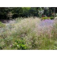 Rasen Schmiele, Deschampsia cespitosa, Containerware