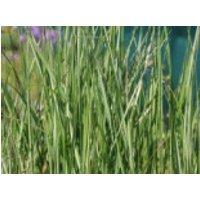 Reitgras 'Avalanche', Calamagrostis x acutiflora 'Avalanche', Containerware