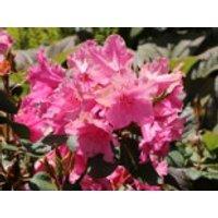 Rhododendron 'August Lamken', 30-40 cm, Rhododendron williamsianum 'August Lamken', Containerware