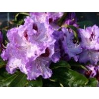 Rhododendron  'Blue Peter', 25-30 cm, Rhododendron Hybride 'Blue Peter', Containerware