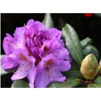Rhododendron  'Blutopia', 30-40 cm, Rhododendron Hybride 'Blutopia', Ballenware