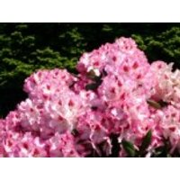 Rhododendron 'Hachmann's Charmant' (S), 25-30 cm, Rhododendron Hybride 'Hachmann's Charmant' (S), Containerware