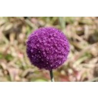 Riesen-Lauch, Allium giganteum, Containerware