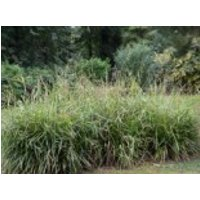 Riesen Wald Segge, Carex pendula, Topfware