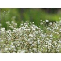 Rispiges Schleierkraut, Gypsophila paniculata, Topfware