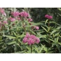 Rosablühende Seidenpflanze, Asclepias incarnata, Topfware