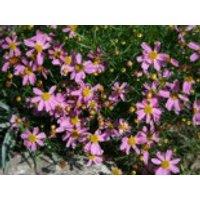 Rosablühendes Schönauge 'American Dream', Coreopsis rosea 'American Dream', Containerware