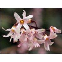 Rosenforsythie 'Roseum', 40-60 cm, Abeliophyllum distichum 'Roseum', Containerware